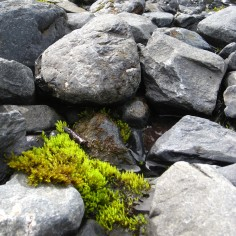 Vibrant moss lives at the foot of a retreating glacier...