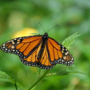 Intracacies of the Monarch Butterfly Migration