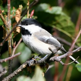 The Chickadee's Memory