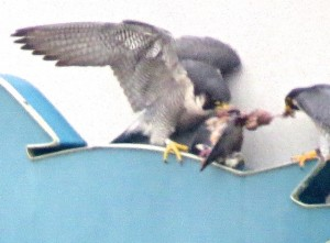 Male Peregrine Feeds Female