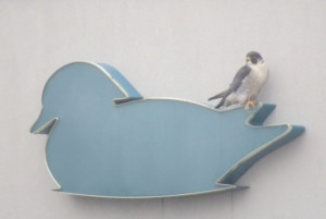 Male Peregrine Falcon sits on the hotel sign across the road. Traditionally Peregrines were called Duck Hawks